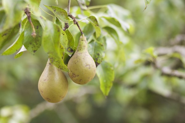 pears growing in the Whitley pub's mini orchard